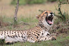 Cheetah_Mara_Asilia_Kenya0037