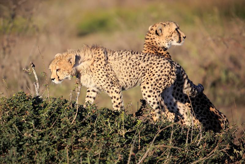Cheetah_Family_Phinda_2016_0048