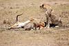 Cheetah_Feast_Mara_Kenya_Asilia_20150107