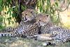 Cheetah_Cubs_Mara_Kenya_Asilia_20150075