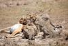 Cheetah_Feast_Mara_Kenya_Asilia_20150011