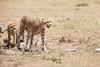 Cheetah_Feast_Mara_Kenya_Asilia_20150228