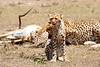 Cheetah_Feast_Mara_Kenya_Asilia_20150072