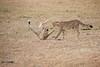 Cheetah_Cubs_Mara_Kenya_Asilia_20150135
