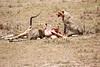 Cheetah_Feast_Mara_Kenya_Asilia_20150131