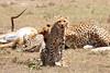 Cheetah_Feast_Mara_Kenya_Asilia_20150071