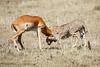 Cheetah_Feast_Mara_Kenya_Asilia_20150167