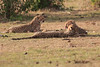 Cheetah_Cubs_Mara_Kenya_Asilia_20150275