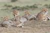 Cheetah_Family_Portraits_Mara_Kenya_Asilia_20150051