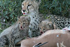 Cheetah Cubs Family Feeding Phinda South Africa
