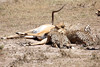 Cheetah_Feast_Mara_Kenya_Asilia_20150003
