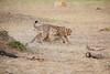 Cheetah_Cubs_Mara_Kenya_Asilia_20150132