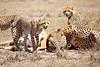 Cheetah_Feast_Mara_Kenya_Asilia_20150221