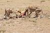 Cheetah_Feast_Mara_Kenya_Asilia_20150061