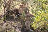 Cheetah_Cubs_Mara_Kenya_Asilia_20150054