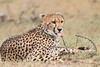 Cheetah_Mara_Asilia_Kenya0054