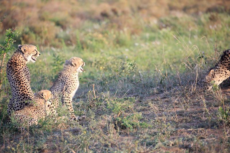 Cheetah_Adventure_Phinda_2016_0100