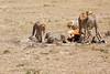 Cheetah_Feast_Mara_Kenya_Asilia_20150057