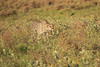 Cheetah_Adventure_Phinda_2016_0006