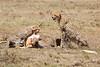 Cheetah_Feast_Mara_Kenya_Asilia_20150090