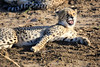 Cheetah_Family_Phinda_2016_0015