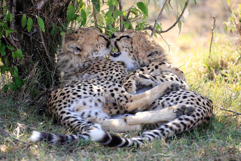 Cheetah_Cubs_Mara_Kenya_Asilia_20150085