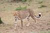 Cheetah_Mara_Asilia_Kenya0018