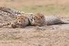 Cheetah_Cubs__Mara_Kenya_Asilia_20150013