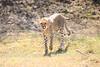 Cheetah_Cubs_Mara_Kenya_Asilia_20150057