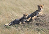 Cheetah Cubs Mara Topi House