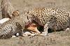 Cheetah_Feast_Mara_Kenya_Asilia_20150253
