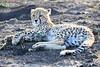 Young_Cheetah_Playing_With_Ball_Phinda_2016_0056