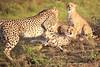Cheetah_Adventure_Phinda_2016_0055
