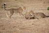 Cheetah_Cubs_Mara_Kenya_Asilia_20150157