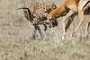 Cheetah_Feast_Mara_Kenya_Asilia_20150233
