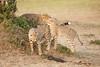 Cheetah_Cubs_Mara_Kenya_Asilia_20150172