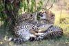 Cheetah_Cubs_Mara_Kenya_Asilia_20150088