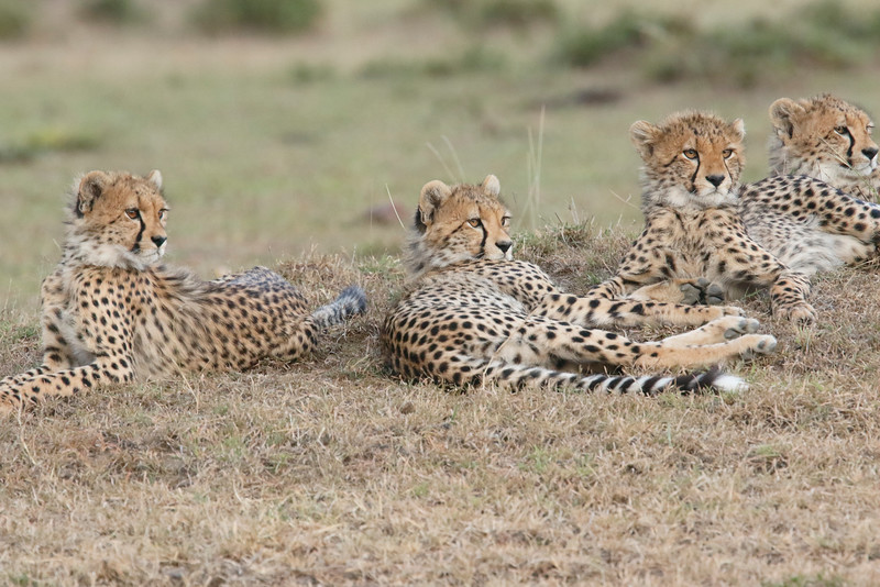 Cheetah_Family_Portraits_Mara_Kenya_Asilia_20150037