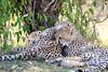 Cheetah_Cubs_Mara_Kenya_Asilia_20150071