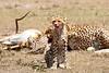 Cheetah_Feast_Mara_Kenya_Asilia_20150075
