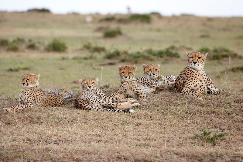 Cheetah_Family_Portraits_Mara_Kenya_Asilia_20150018