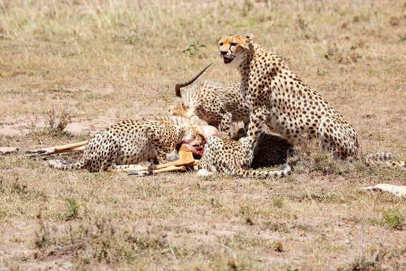 Cheetah_Feast_Mara_Kenya_Asilia_20150104