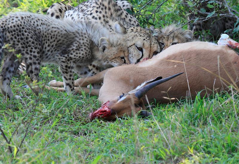 Cheetah Cubs Feeding Family Phinda South Africa