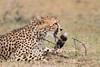 Cheetah_Mara_Asilia_Kenya0051
