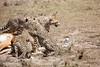Cheetah_Feast_Mara_Kenya_Asilia_20150010