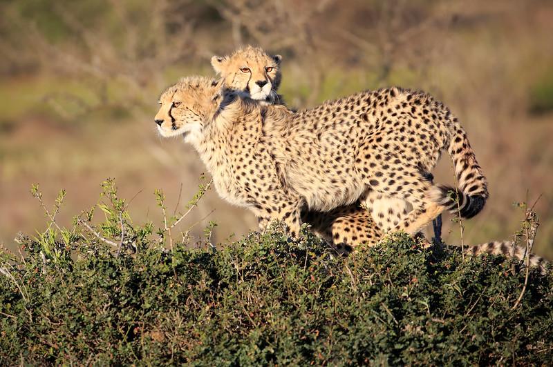 Cheetah_Family_Phinda_2016_0055