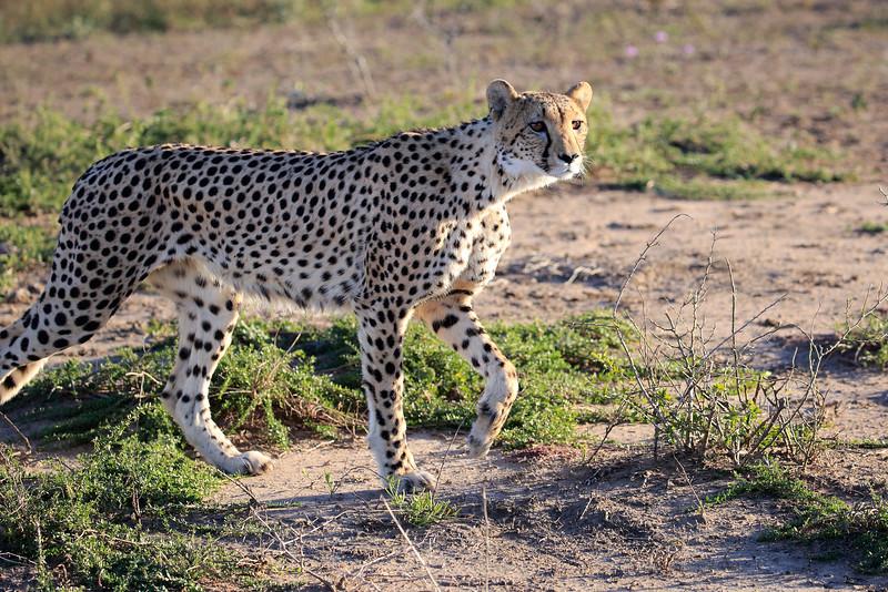 Cheetah_Family_Phinda_2016_0031