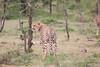 Cheetah_Mara_Asilia_Kenya0015