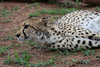 Cheetah Phinda South Africa