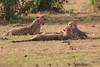 Cheetah_Cubs_Mara_Kenya_Asilia_20150278